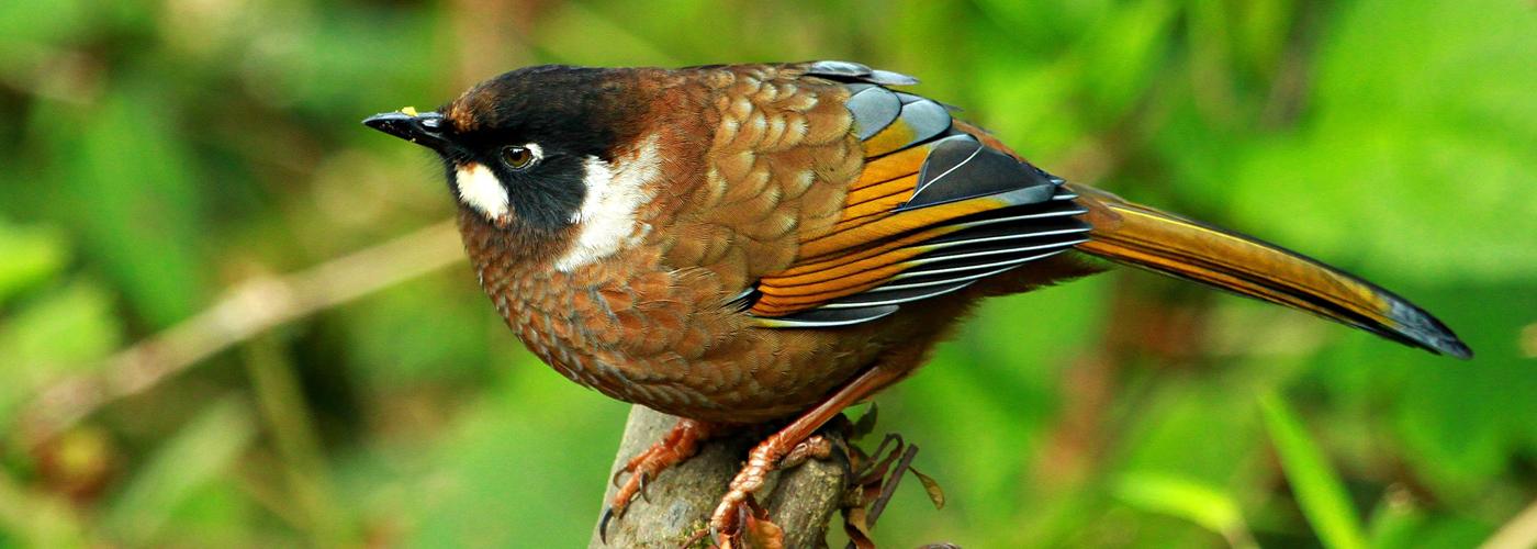 Koshi Tappu Bird Watching Tour