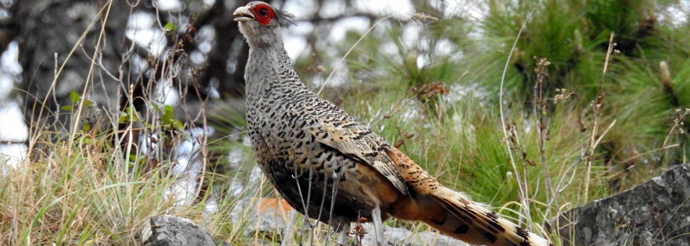 Shivapuri Bird Watching Tour